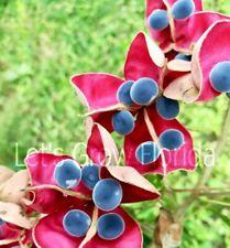 """Majidea zangueberica/ mgambo/ Black Pearl 6"""" pot Velvet Flower Ornamental Tree"""