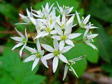 """Allium Ursinium - """"WILD GARLIC"""" (50 SEEDS)"""