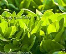 Spinach - 550 seeds  - Rosette F1 Winter Giant