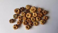 30 Mini Putka seed pods - dolls house fairy garden MINIATURE ideal pumpkins
