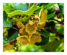 Actinidia deliciosa Atlas-Kiwi Fruit Male Plant Plant in 9cm pot