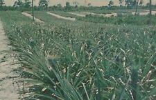 New listing Plantation Paradise Pineapples Grow Lake Placid Florida Vintage Chrome Post Card