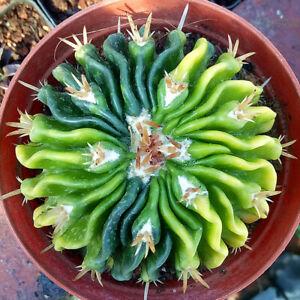 Stenocactus multicostatus variegated cactus Succulent plants Home Bonsai Decor