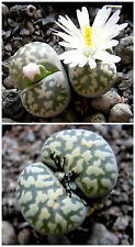 50 semillas Lithops karasmontana bella C143A, piedras vivas, suculen S