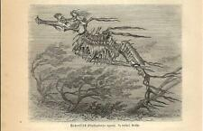 Stampa antica PESCE DRAGO MARINO Phyllopteryx eques 1891 Old antique print