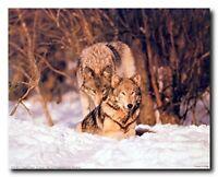Pair Wolf in Snow Wild Animal Wildlife Wall Decor Art Print Poster (16x20)