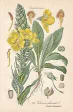 Verbascum - Königskerze THOME Lithographie von 1886 Donnerkerze Winterblom