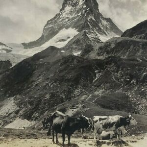 Switzerland Matterhorn Pyramid of Alps Cow Cattle Panorama Photo Stereoview C340