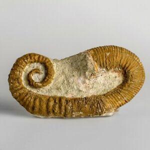 Heteromorph Ammonite (165.4 grams)