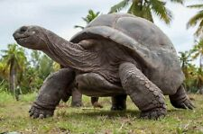 Four Giant Land Tortoise fighting spur fossils and one shell fragment (Florida)
