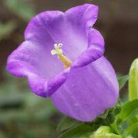 Big Wind Bell Flower Seed 30 Seeds Campanula Beautiful Flower Garden Seeds A267