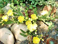 Opuntia pollardii Steingarten-Pflanze,nordamerikan. Feigen-Kaktus
