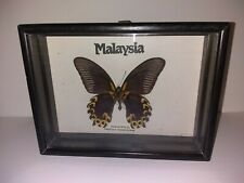 Papilio ascalaphus Butterfly Real Framed Insect Taxidermy Entomology Swallowtail