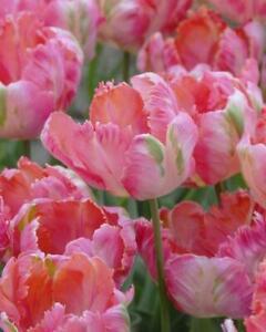 Tulip Apricot Parrot - 12 Bulbs Per Pack SPRING FLOWERING