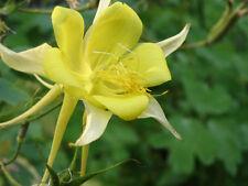 50 YELLOW COLUMBINE Aquilegia Flower Seeds +Gift & CombS/H