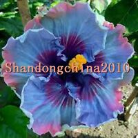 """Local Farmer """"Giant Hibiscus Exotic Coral Flowers Seeds""""Mix Rare Blue"""