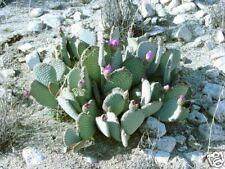 Opuntia basilaris Hardy Beavertail Cactus SEEDS!