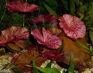 2 x RED Zenkeri Tiger Lotus Nymphaea bulb live aquarium plant tropical fish hide