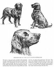 Flat Coated Retriever Sketch - 1963 Vintage Dog Print - Matted