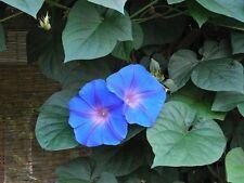 Trichterwinde Morning Glory Ipomoea tricolor Schamanenpflanze Ololiuqui LSA