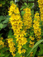 25 graines Lysimaque Ponctuée(Lysimachia Punctata)H327 YELLOW LOOSESTRIFE SEEDS