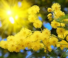 SILVER WATTLE - Yellow mimosa - Acacia Dealbata - 40 SEEDS - tree seeds