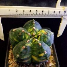 1201  --Astrophytum myriostigma/Ariocarpus/Astrophytum asterias/