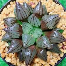 8cm Watermelon Haworthia Comptioniana Succulent live Plant Home Garden Flower