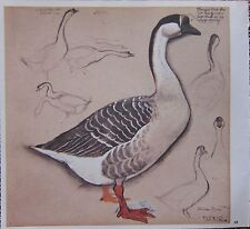 BEAUTIFUL VINTAGE BIRD PRINT ~ DOMESTIC CHINESE GOOSE ~ TUNNICLIFFE