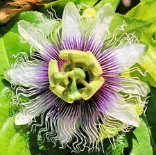 Passiflora Sweetheart 10 seeds