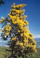 Fleurs - cpsm - Mimosa (F2813)