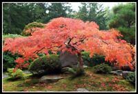 20Pcs Japanese Maple Tree Seeds Acer 3 Kinds Perennial Home Garden Plants Bonsai