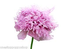 50 Poppy Flower Seeds Lavender Feathers Poppies Papaver Laciniatum #33