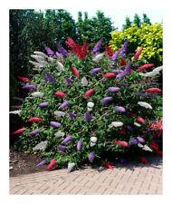 Buddleja davidii (Tricolour)-Buddleia Butterfly Bush Plant in 2Ltr pot