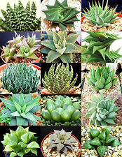 HAWORTHIA MIX rare living sotnes plant exotic cactus flower succulents 10 seeds