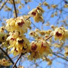 CHIMONANTHE ODORANT(Chimonanthus praecox) 15 GRAINES BIO
