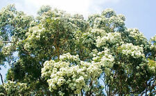 SALMON GUM SEEDS EUCALYPTUS SALMONOPHLOIA SEED TREE GARDEN FLOWER 400 SEEDS