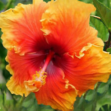 20 Yellow Orange Hibiscus Seeds Perennial Hardy Seed Flower Garden Exotic 437