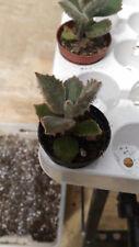 Kalanchoe beharensis Fang planta en maceta 5 cms suculentas crasas