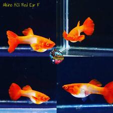 New listing 1 Pair- Premium Grade Live Guppy Fish Albino Koi Red Ear