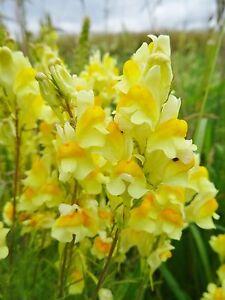 Linaria vulgaris GEMEINES LEINKRAUT 100 Samen Wildblumen winterhart