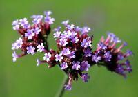 175 Verbena bonariensis - Vervain - Drought Tolerant - Attract Butterflies