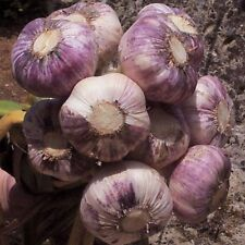 Garlic Seeds 30 clove 'Early Purple Wight' Hardy Bulb(PLANTING NOW)From 3 Bulbs
