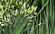 Garlic Chive Seeds, Herb, Allium Tuberosum, Heirloom, NON-GMO, , FREE SHIPPING