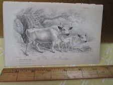 Vintage Print,WHITE URSUS,Plate 24,Jardine,c1840