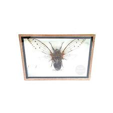 Real Cicada Insect Taxidermy Entomology Wood Bug Box Display Framed for Gift