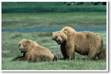 Grizzly Bears - NEW Animal Wildlife POSTER