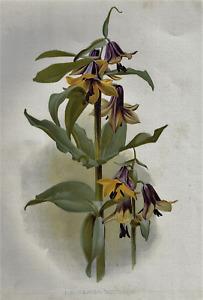 H.G. Moon's Antique Floral - FRITILLARIA DISCOLOR  - Chromolithograph - 1903
