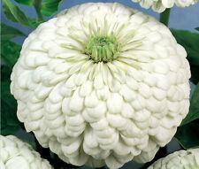 Zinnia Polar Bear Zinnia Elegans - 1,000 Bulk Seeds