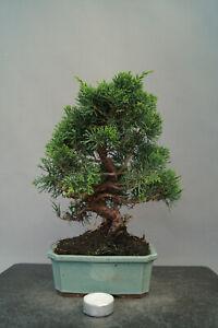 Bonsai  Wacholder Juniperus chinensis Nr 3025 Pre Bonsai immergrün